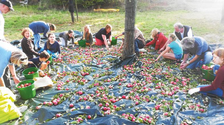 Rund um den Stamm des Apfelbaumes werden heruntergefallene Äpfel eingesammelt