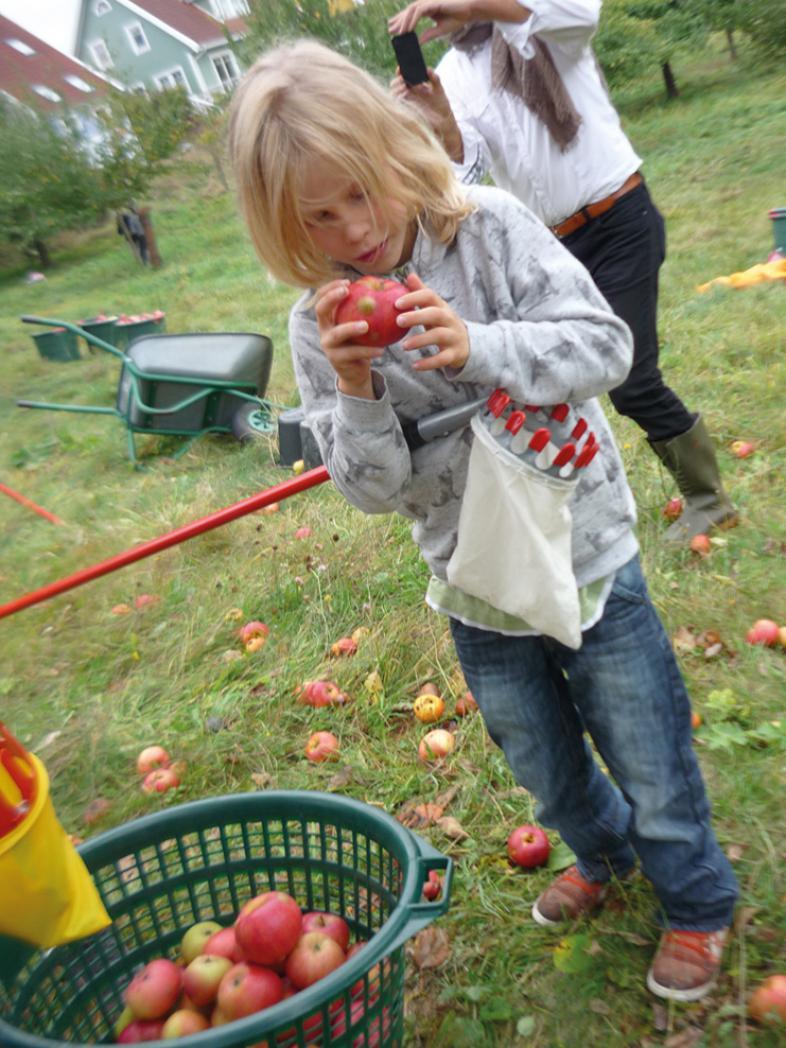Ein Kind untersucht einen der aufgelesenen Äpfel