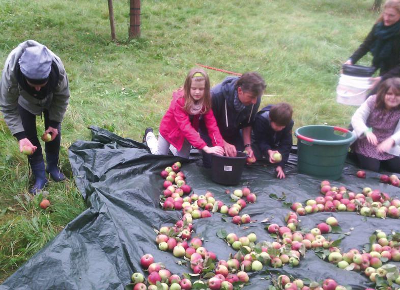 Die vom Baum geschüttelten roten Äpfel werden von großen und kleinen Leuten von einer dunklen Folie