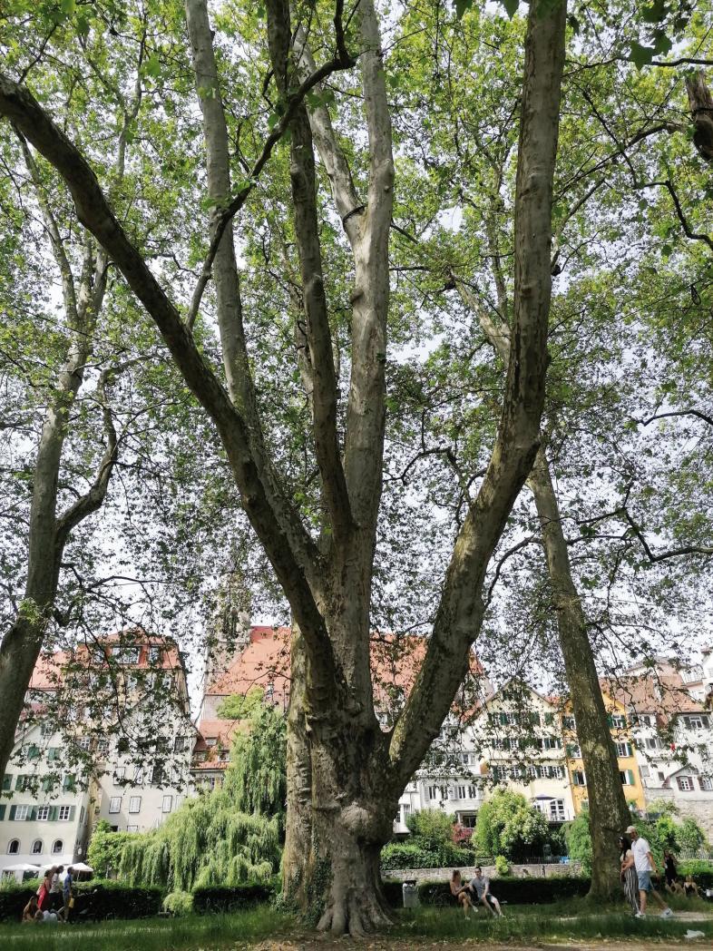 Foto eines riesigen alten Baums in einem Tübinger Park. Im Hintergrund sind die typischen buntent Fachwerkhäuser zu sehen.